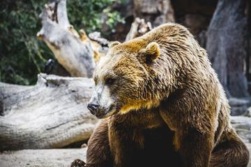 beautiful and furry brown bear, mammal