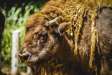 buffalo, great and mighty bison, america