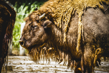 bull, great and mighty bison, america