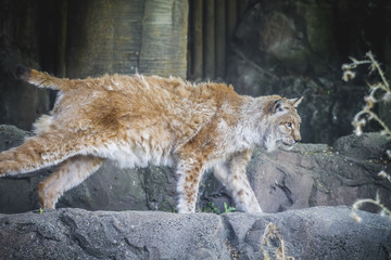 Iberian lynx chasing a bird