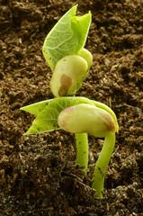 Phaseolus vulgaris Фасоль обыкновенная Gartenbohne Haricot