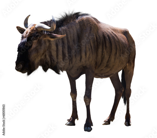 In de dag Antilope Blue wildebeest