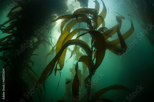 Staande foto Onder water Forest of Giant Kelp