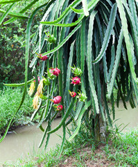 dragon fruit on tree vietnam mekong delta asia