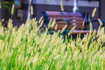 beautiful summer reed