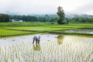 farmer in field rice farming
