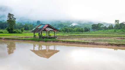 hut in rice farm field