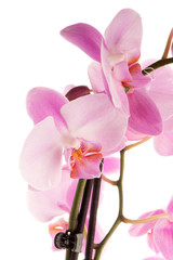 Beautiful pink orchid
