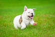 canvas print picture - English bulldog puppy running