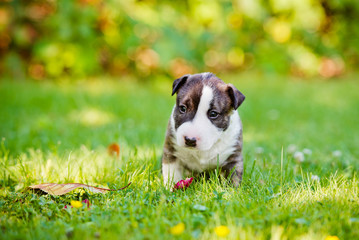 one month old english bull terrier puppy