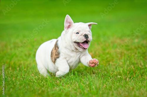 canvas print picture English bulldog puppy running