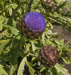 artichoke in the garden