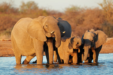 Elephants drinking water, Etosha National Park
