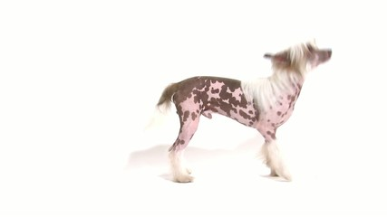 Hairless Chinese Crested dog chasing its own tail