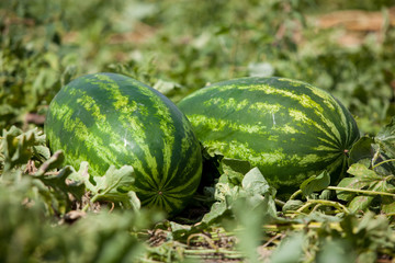 Watermelon growing