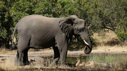 An African elephant cow at a waterhole