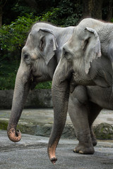 Closeup of two Asian/Asiatic elephants in a zoo