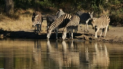 Plains (Burchell's) zebras gathering at a waterhole to drink