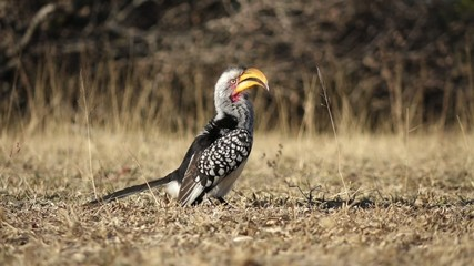 Yellow-billed hornbill sitting on the ground