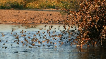 Red-billed Queleas drinking water  at a waterhole