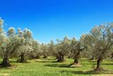 Olive grove, Abruzzo, Italy