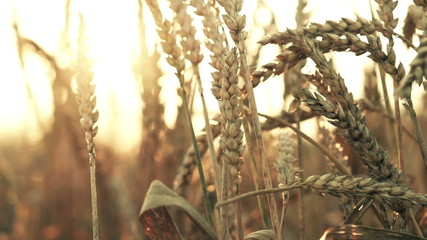 Wheat spikes at sunset, super slow motion, 240fps