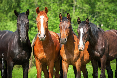 Group of young horses on the pasture - 68017279