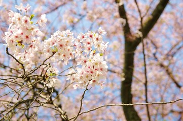 PRETTY cherry blossoms 桜の梢