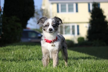 Toy Australian Shepherd Dog in Grass