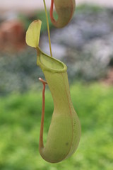 Nepenthes,Pitcher Plant,Monkey Cup,