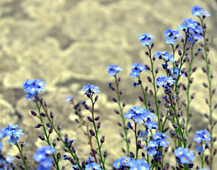 Forget-me-not-flower.