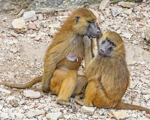 baboons - papio ursinus