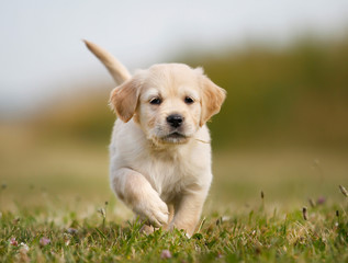 Golden retriever puppy running towards camera