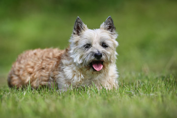 Light brown terrier dog