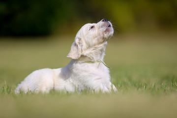 Barking golden retriever puppy