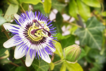 Passionflower close up, green leaves background