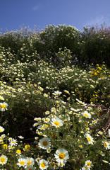 Wild flowers in california