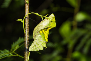 Golden birdwing butterfly pupa