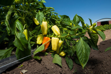 Capsicum plant with ripening fruits red pepper and green pepper