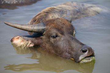Búfalo bañándose en un río.