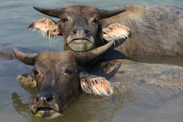 Búfalos bañándose en un río.