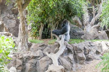 Gorilla in Loro Parque. Tenerife. Spain.
