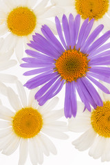 beautiful white and purple daisies