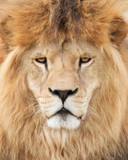 Face of majestic lion