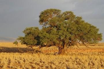 Kameldornbaum im Abendlicht