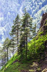 Rear pinetrees in high mountains