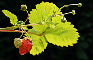 organic ripe and unripe strawberry fruits on the branch