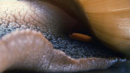 Giant snail crawling shooting macro