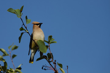 Cedar Waxwing Perched On Branch