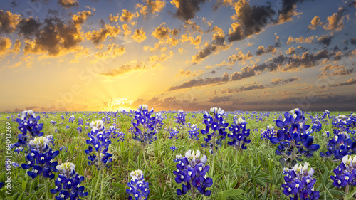 Bluebonnets in the Texas Hill Country - 68043269
